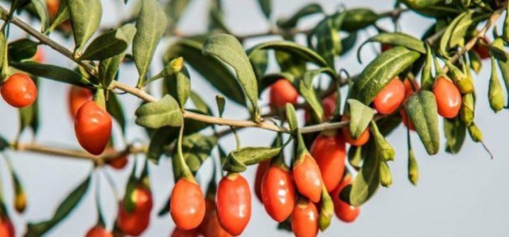 Goji Pachino: il marchio Made in Sicily che dona longevità